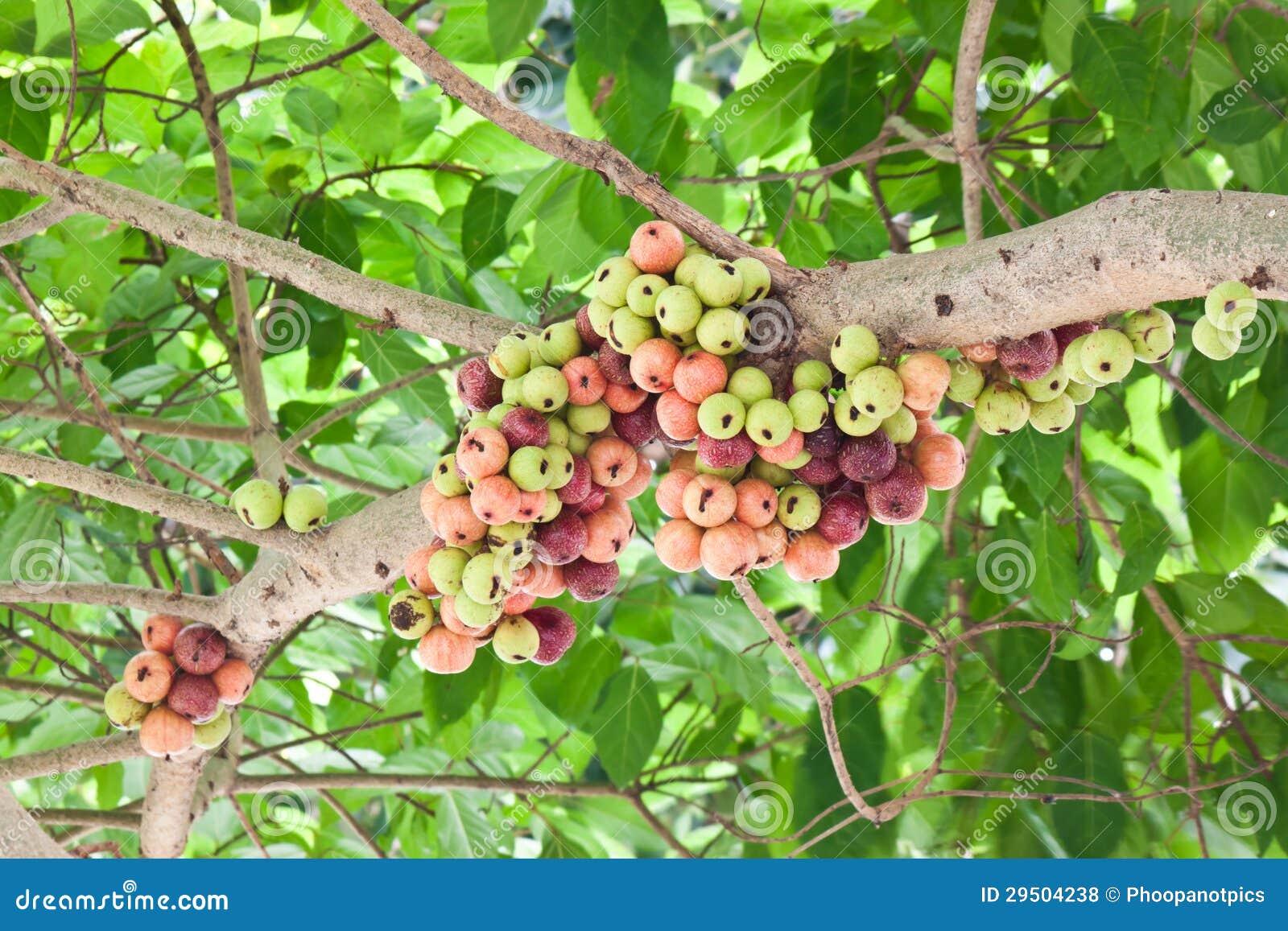 Het fruit van de aap