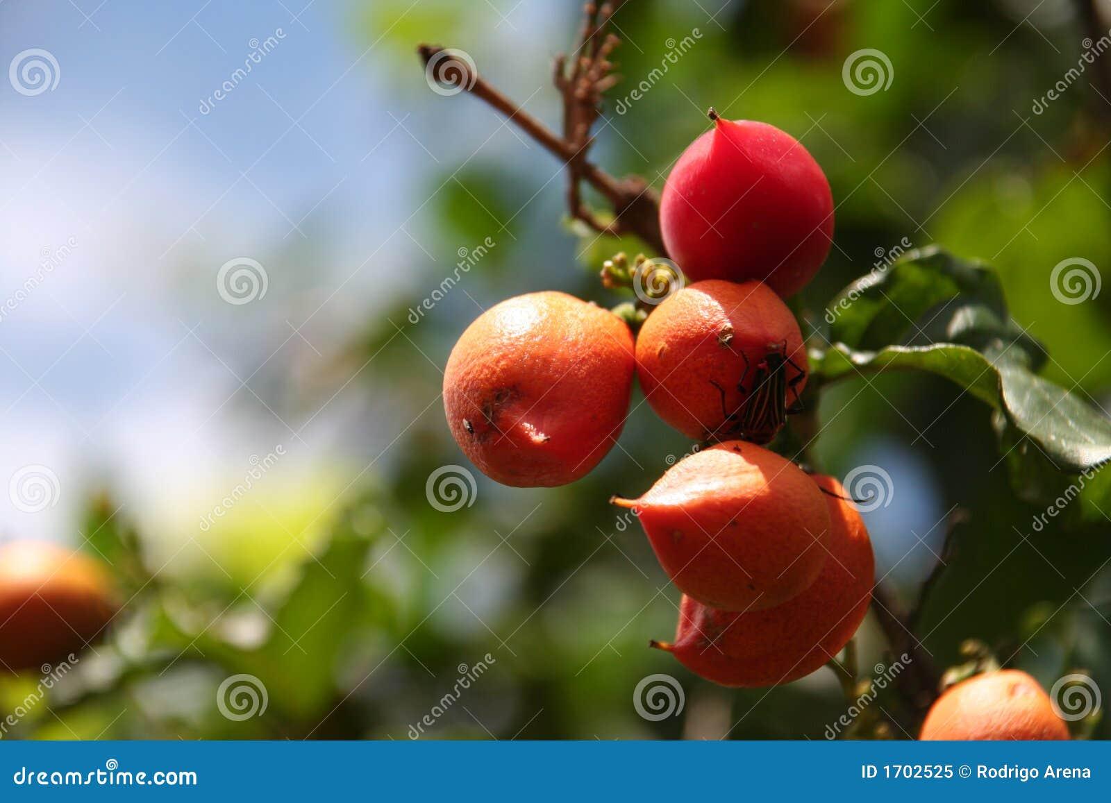Het fruit van Guarana