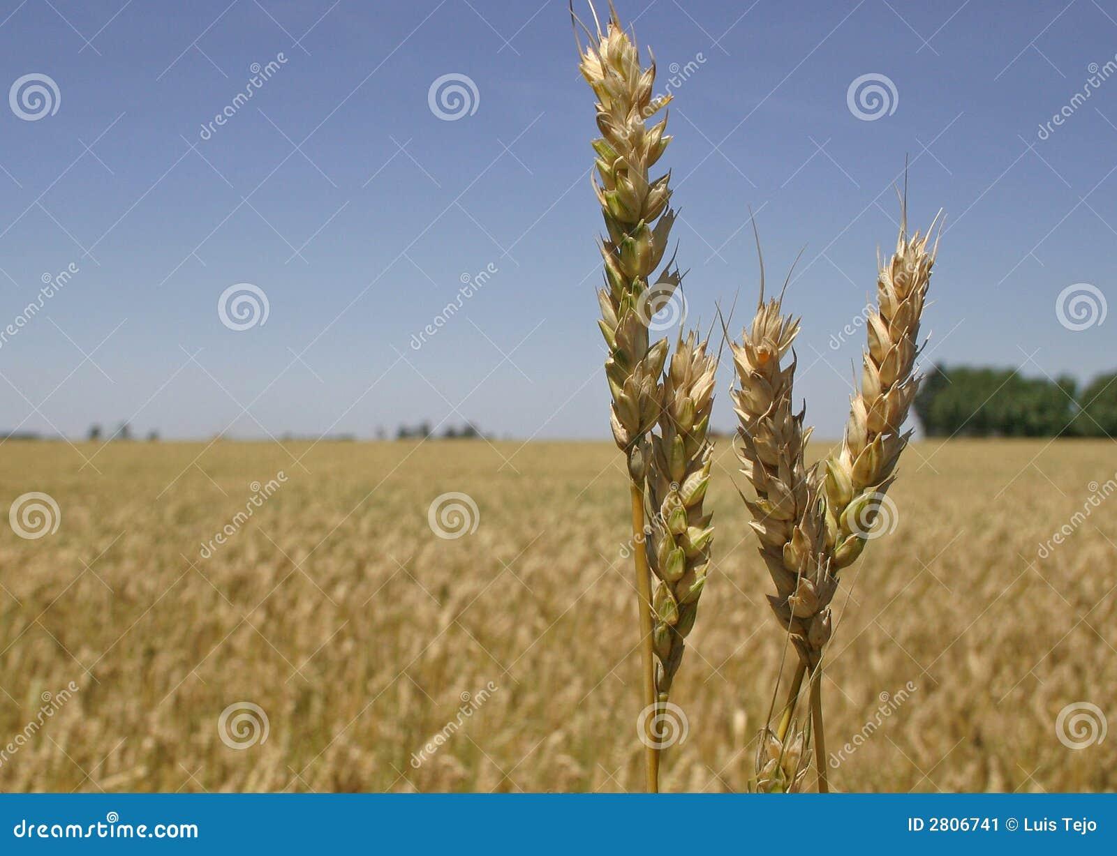Het gebied en de aren van de tarwe