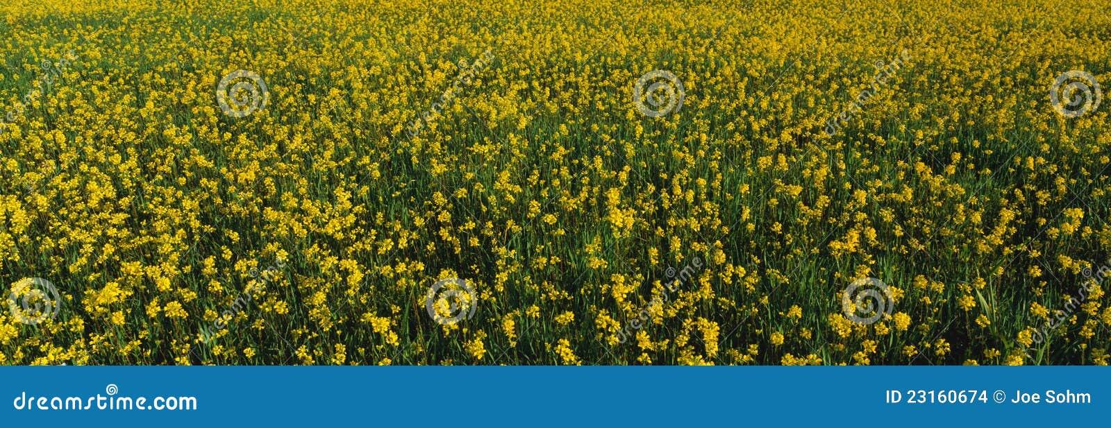 Het Gebied Van De Lente Van Geel Mosterdzaad Stock Afbeeldingen   Afbeelding  23160674