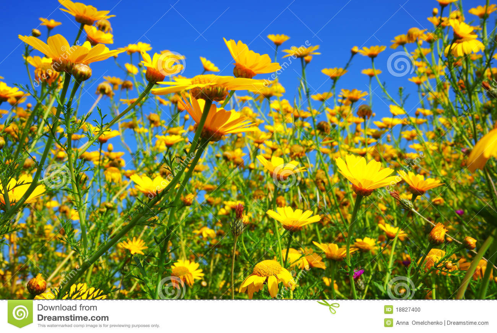 Het gebied van de lente van gele madeliefjes