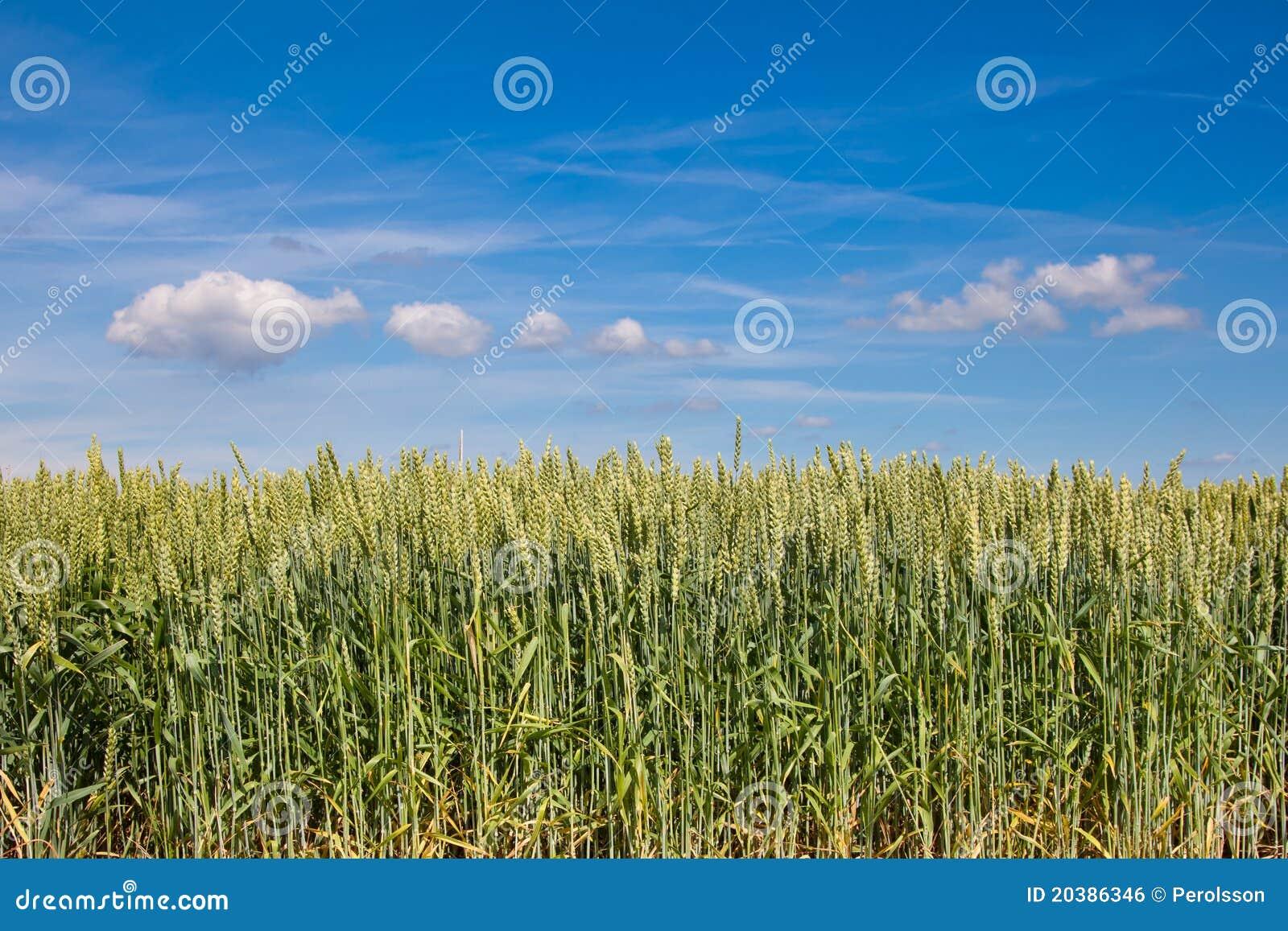 Het gebied van de tarwe