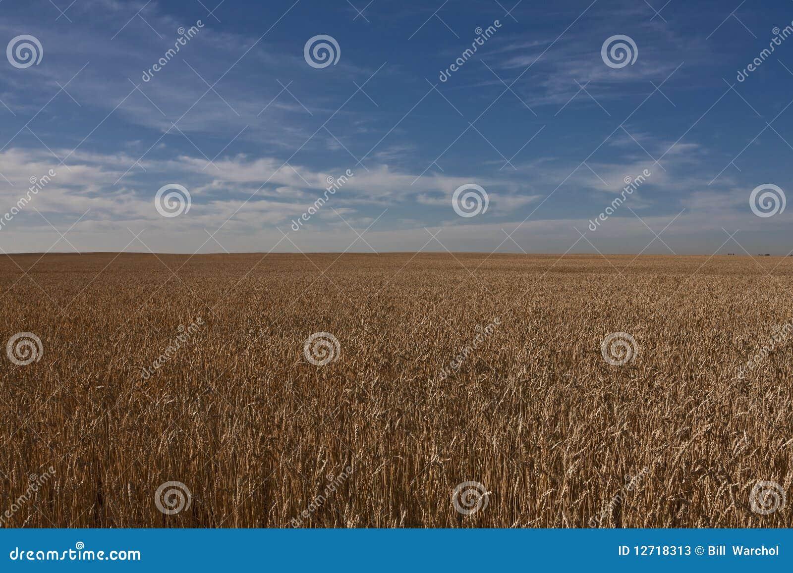 Het gebied van de tarwe in Alberta - Canada