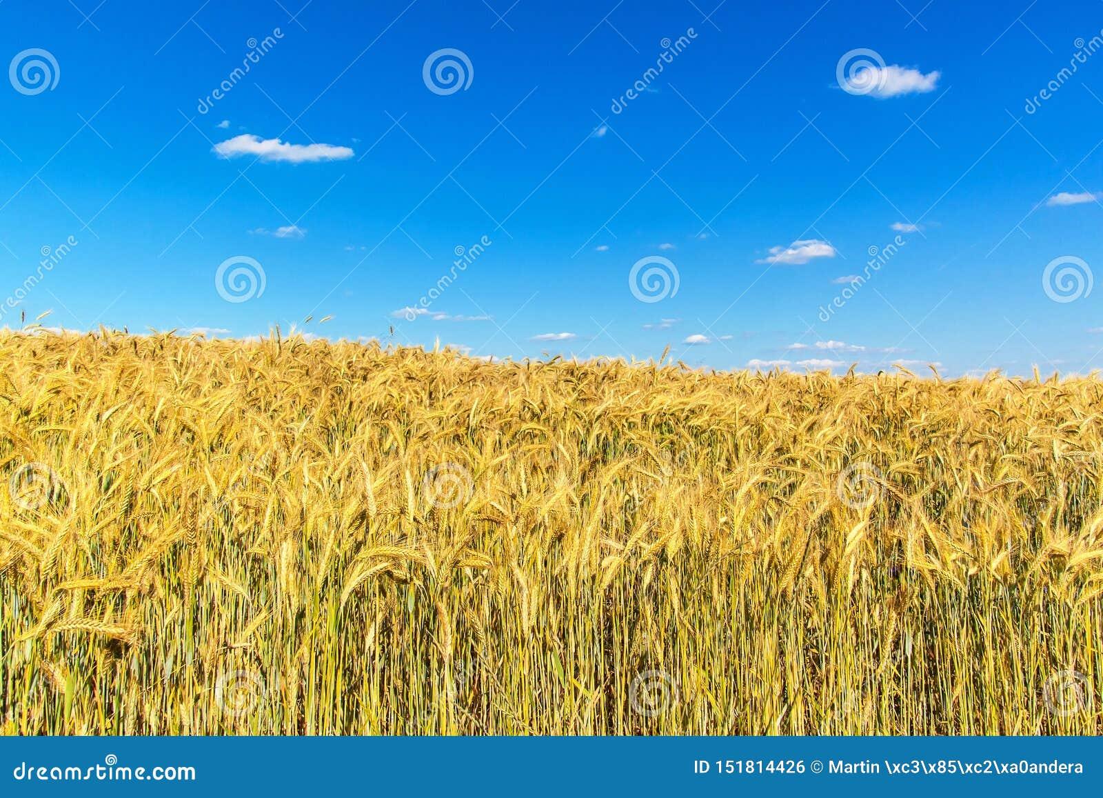 Het gebied van de tarwe en blauwe hemel met wolken Rijpe aren tegen een intense blauwe hemel Landbouwlandschap in de Tsjechische