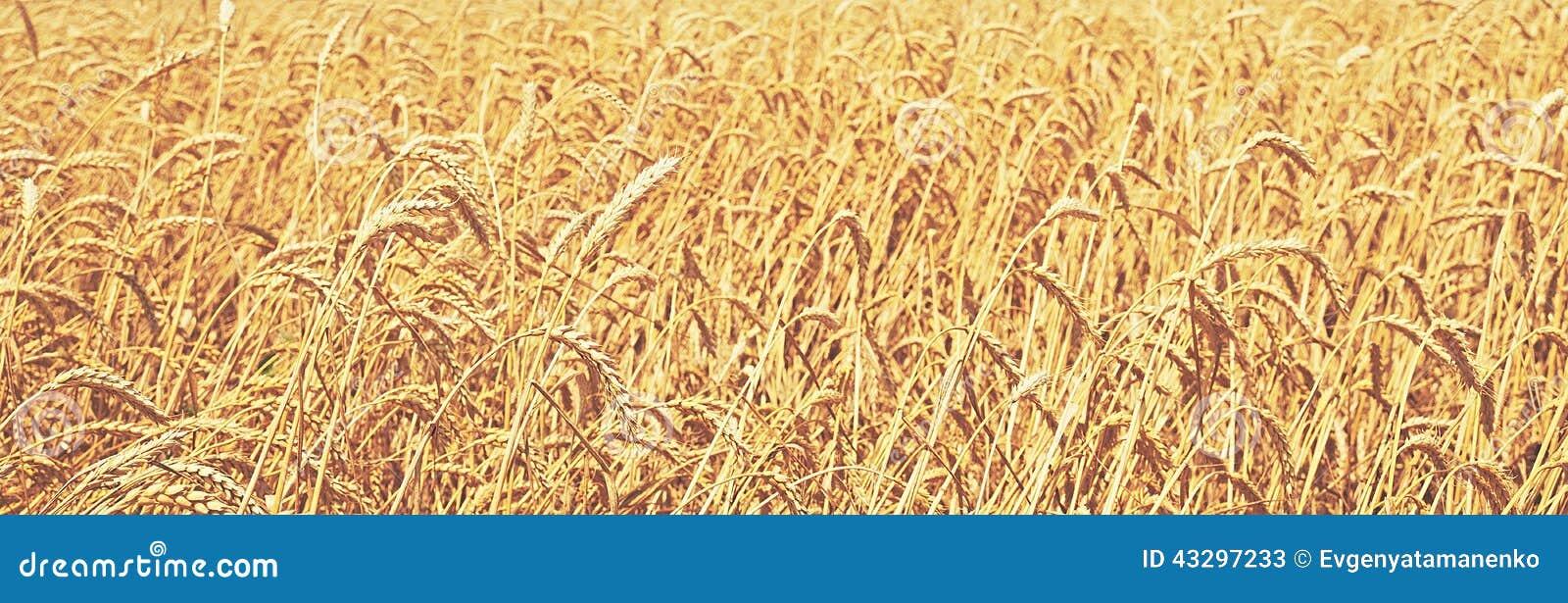 Het gebied van de tarwe Natuurlijke achtergrond