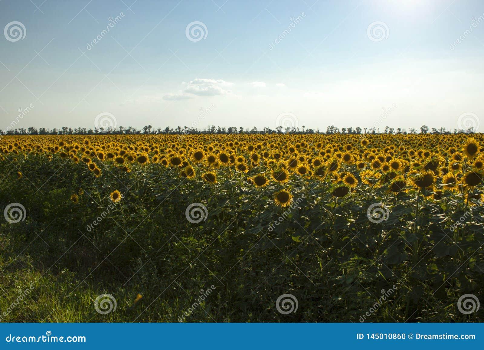 Het gebied van de zonnebloem met blauwe hemel