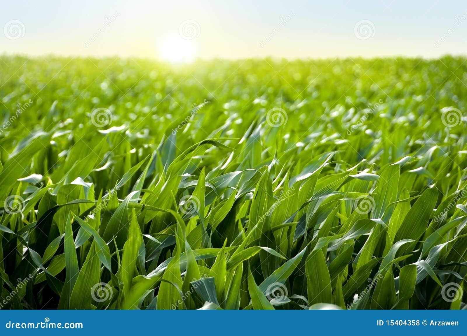 Het gebied van het graan in zonsondergang - maïsgebied