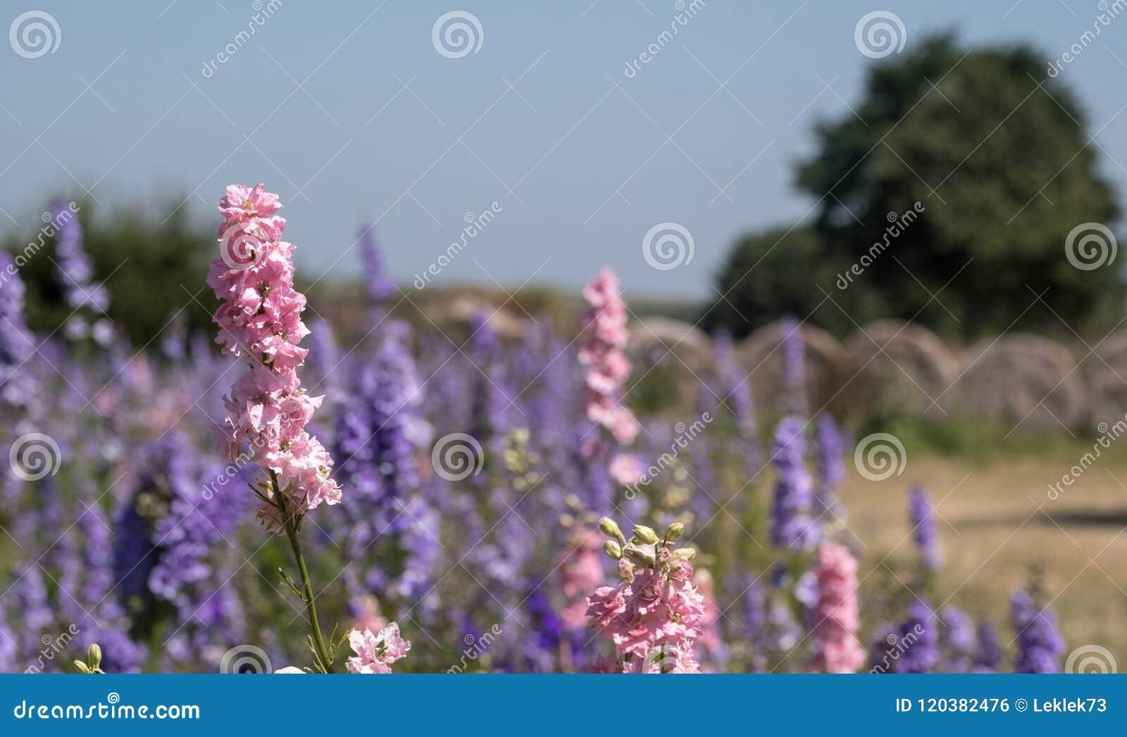 Het gebied van kleurrijk ridderspoor bloeit in Wiek, Pershore, Worcestershire, het UK, met balen van hooi op de achtergrond