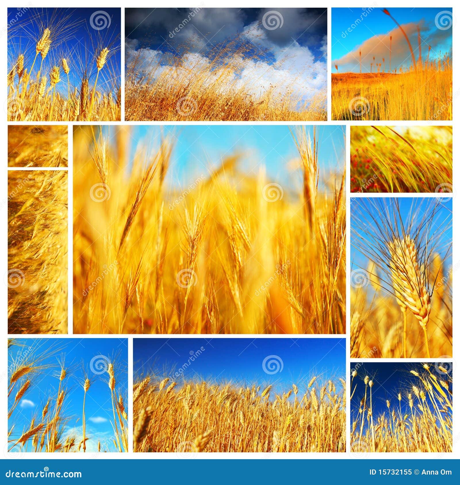 Het gebiedscollage van de tarwe