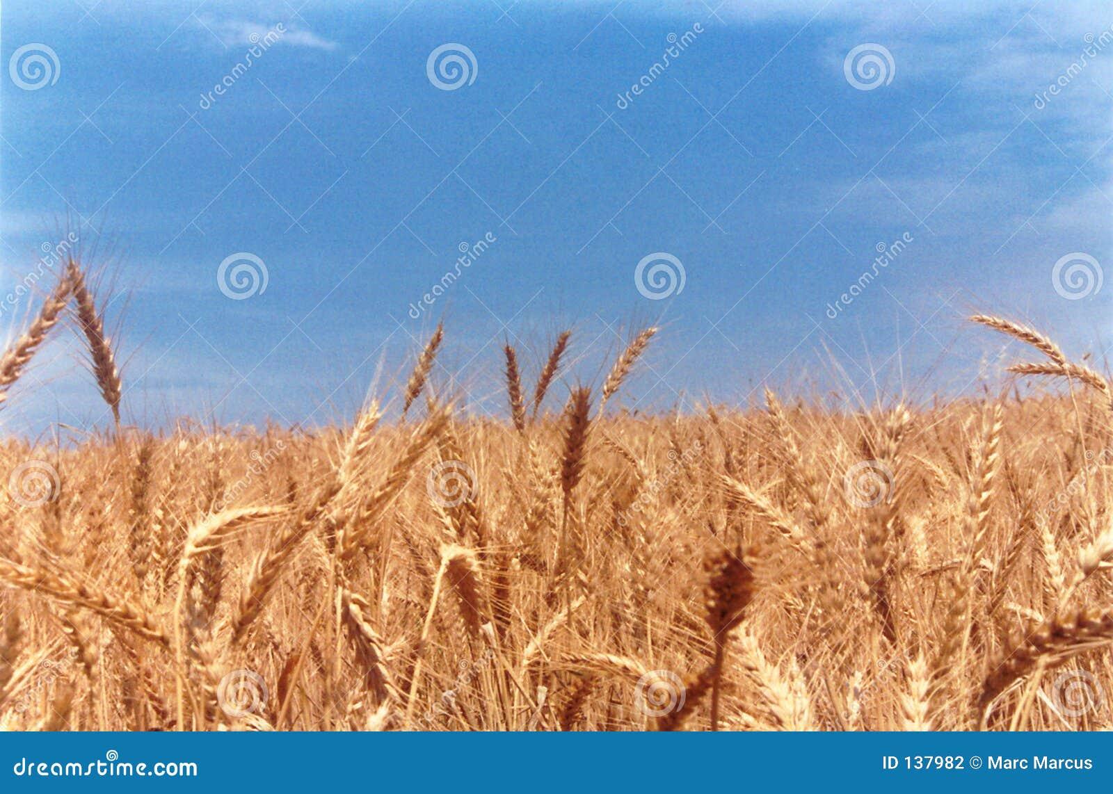 Het gebiedsschrijver uit de klassieke oudheid van de tarwe
