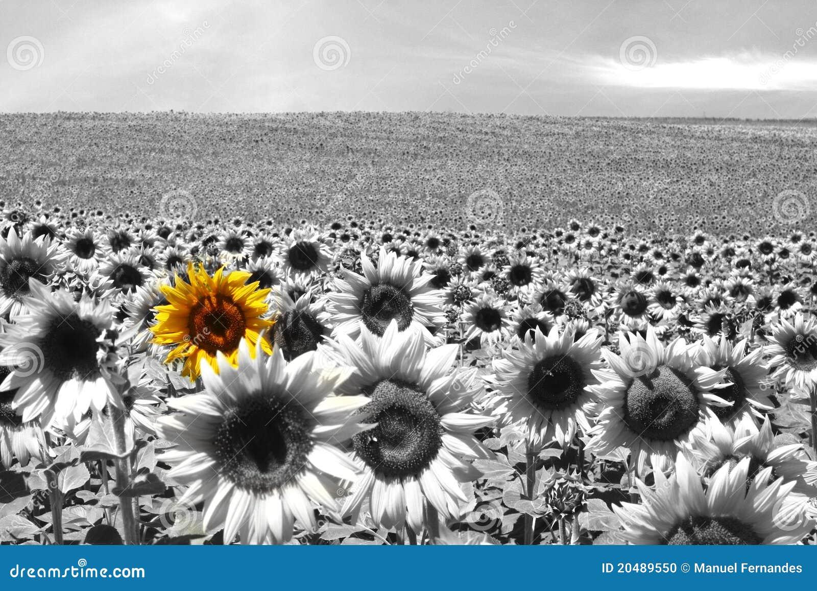 Het gebiedszwarte & wit van de zonnebloem