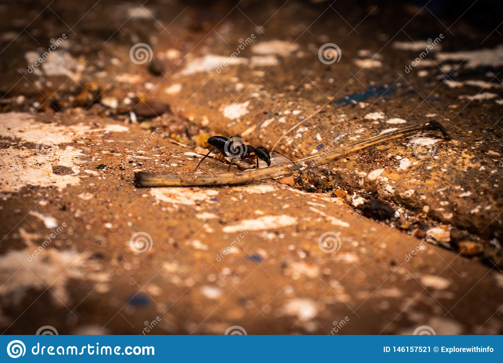 Het geconcentreerde beeld van Ant Black On grond