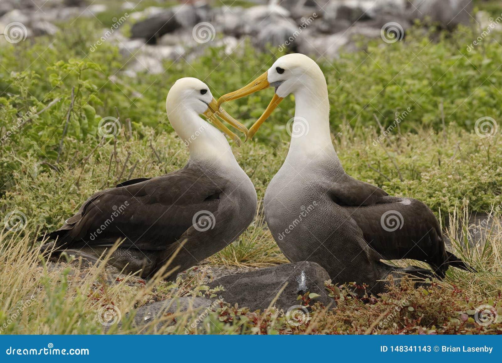 Het gegolfte Albatrossen streven naar