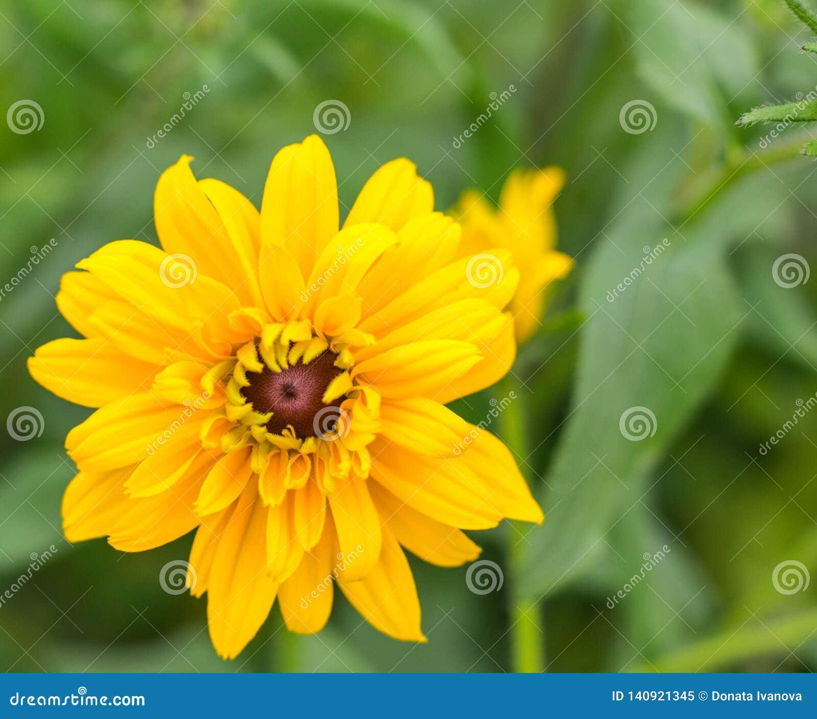 Het gele close-up van de bloesem enige bloem