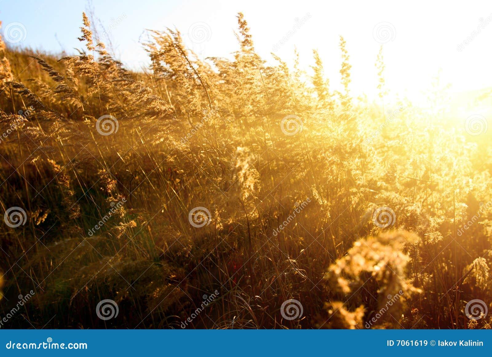 Het gele gras van de herfst
