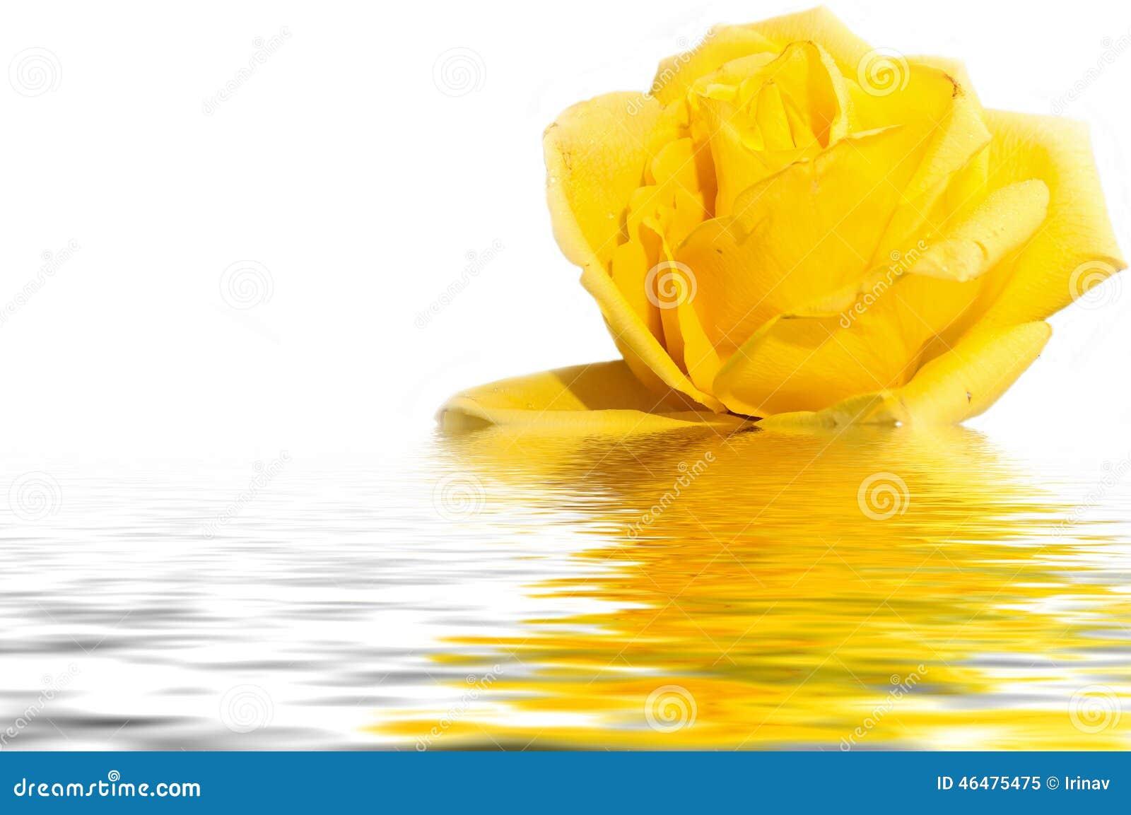 Het gele wit van de rozewaterbezinning