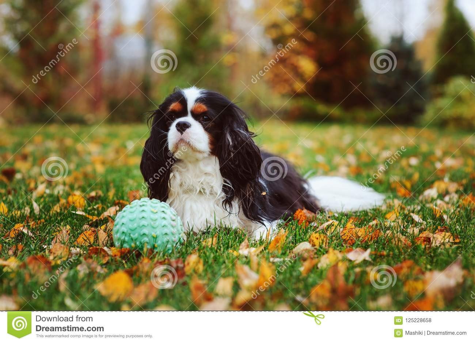 Het gelukkige arrogante het spanielhond van koningscharles spelen met stuk speelgoed bal