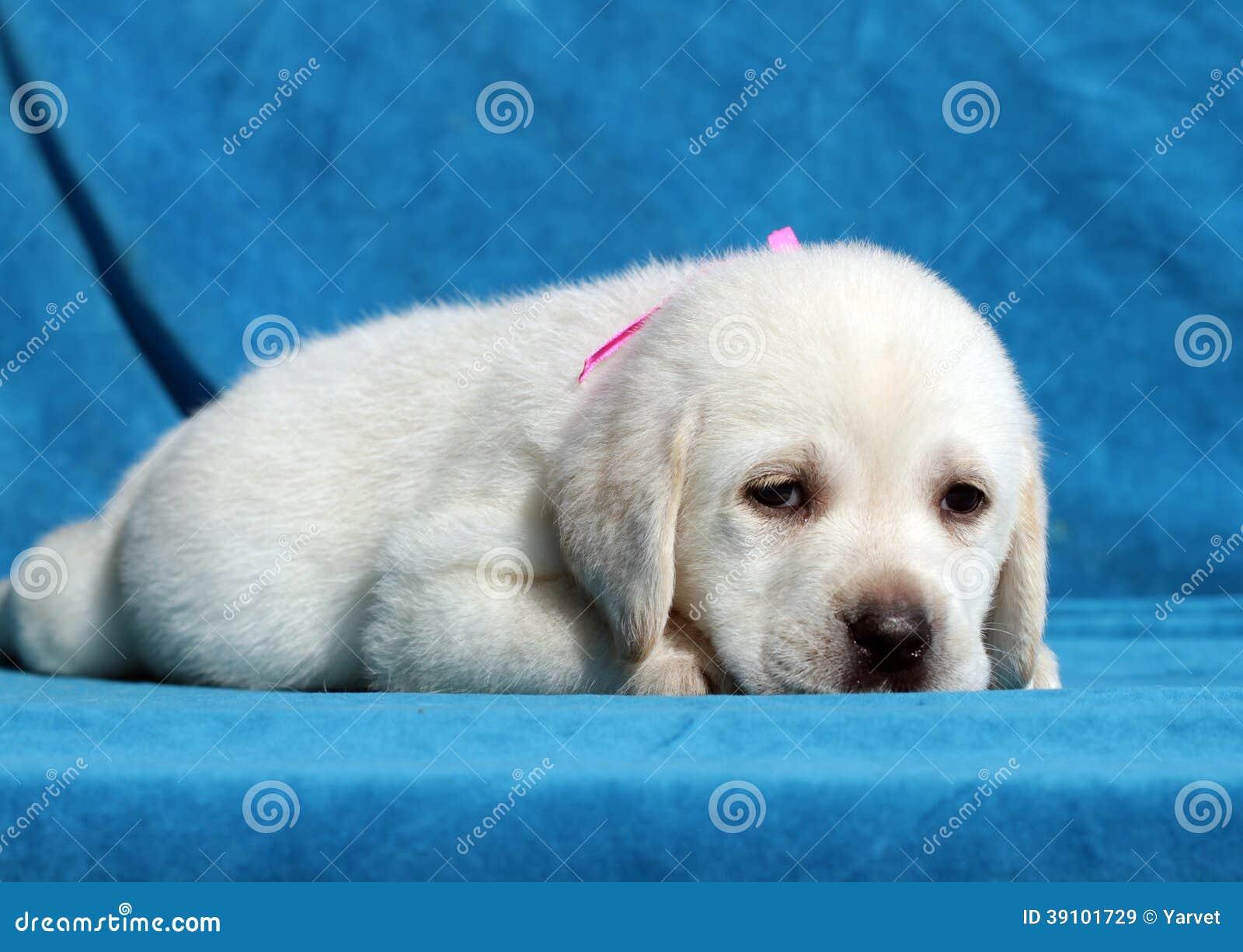 Het gelukkige gele puppy die van Labrador dicht omhoog leggen