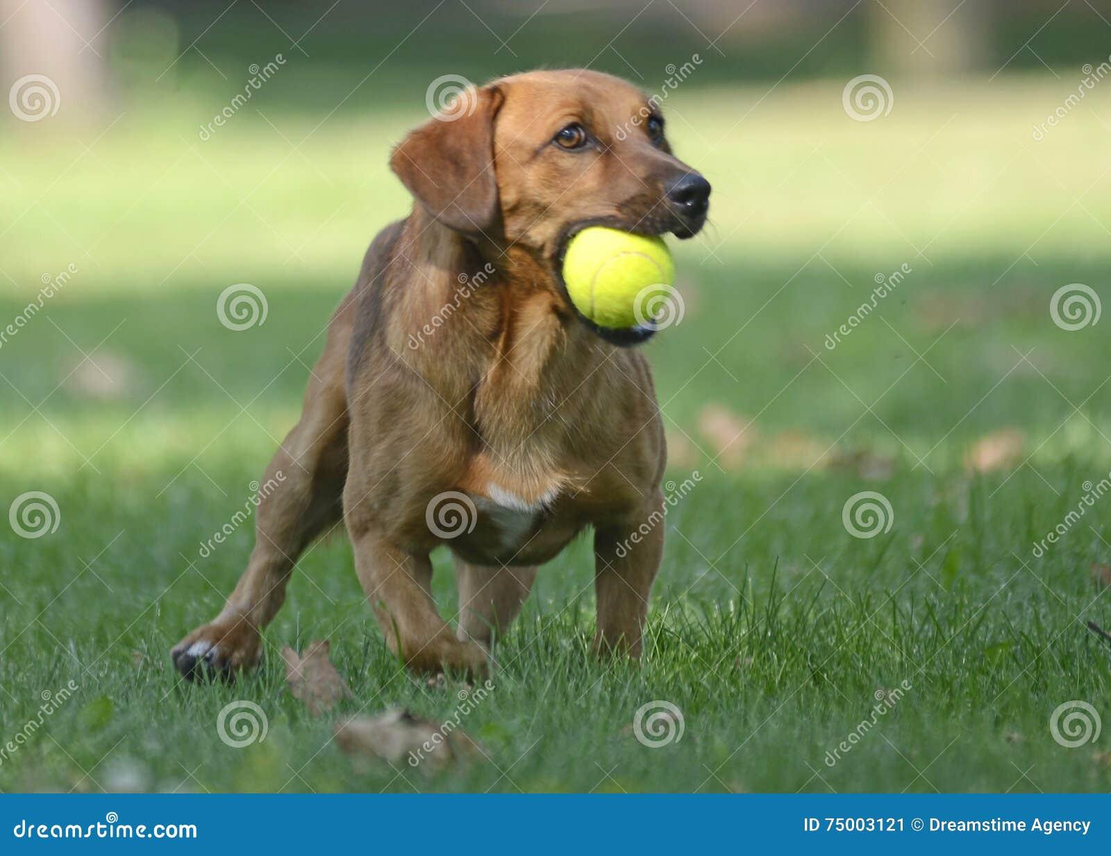 Het gelukkige hond spelen met bal