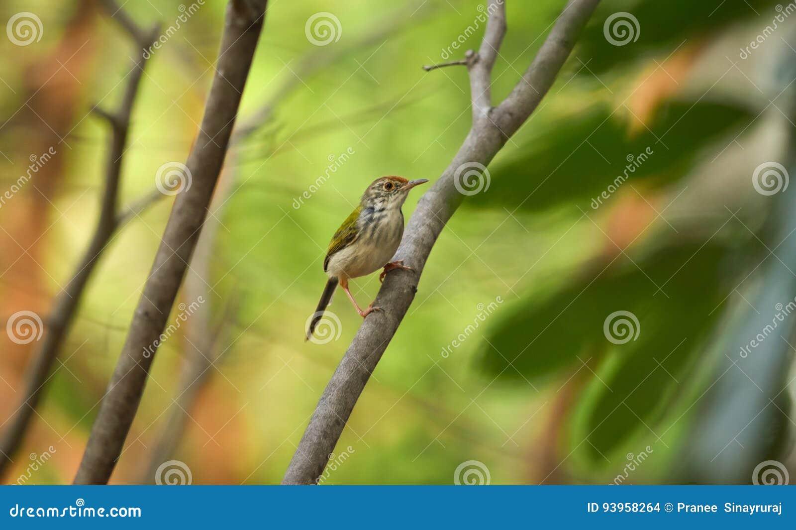 Het gemeenschappelijke tailorbird neerstrijken