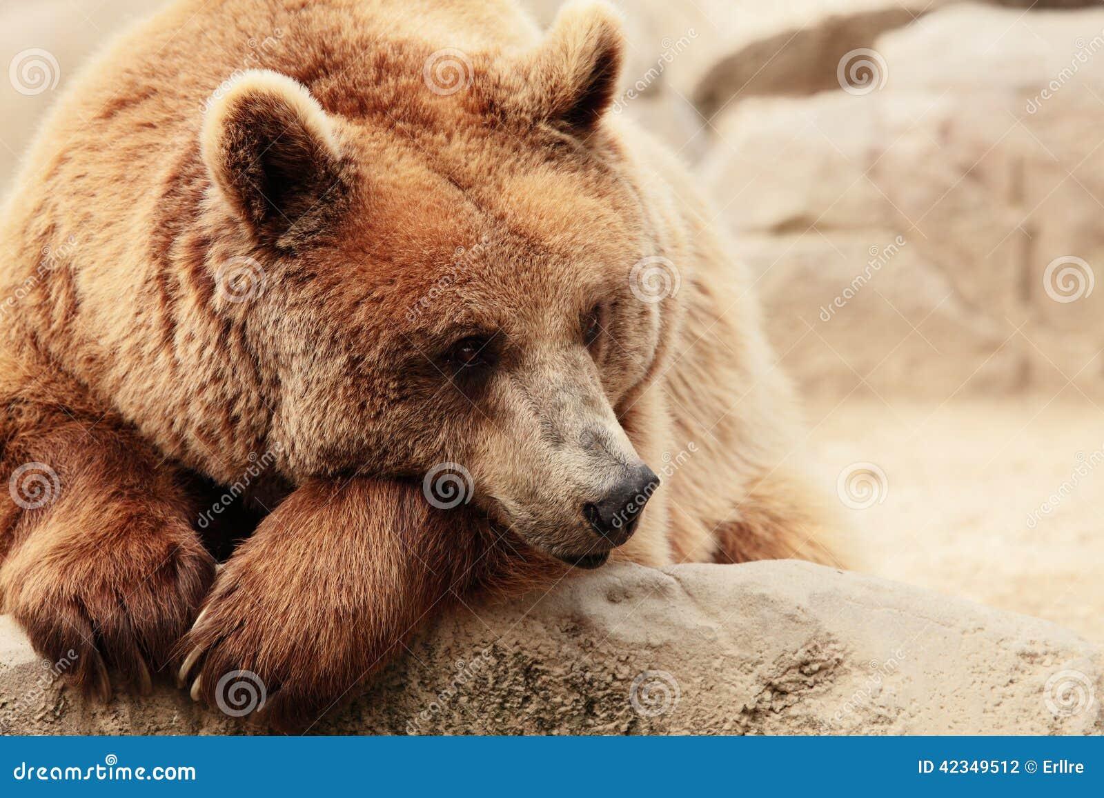 Het gezicht van een beer