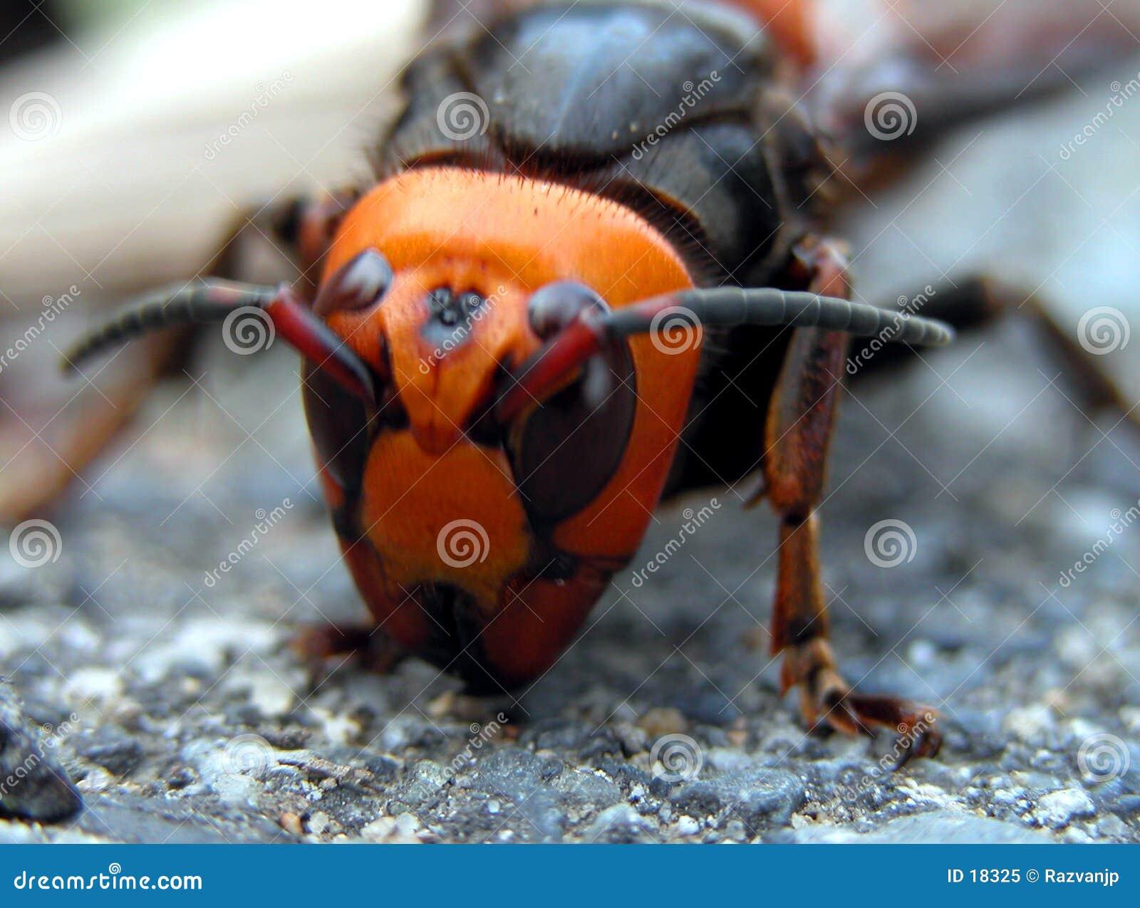 Het gezicht van het insect