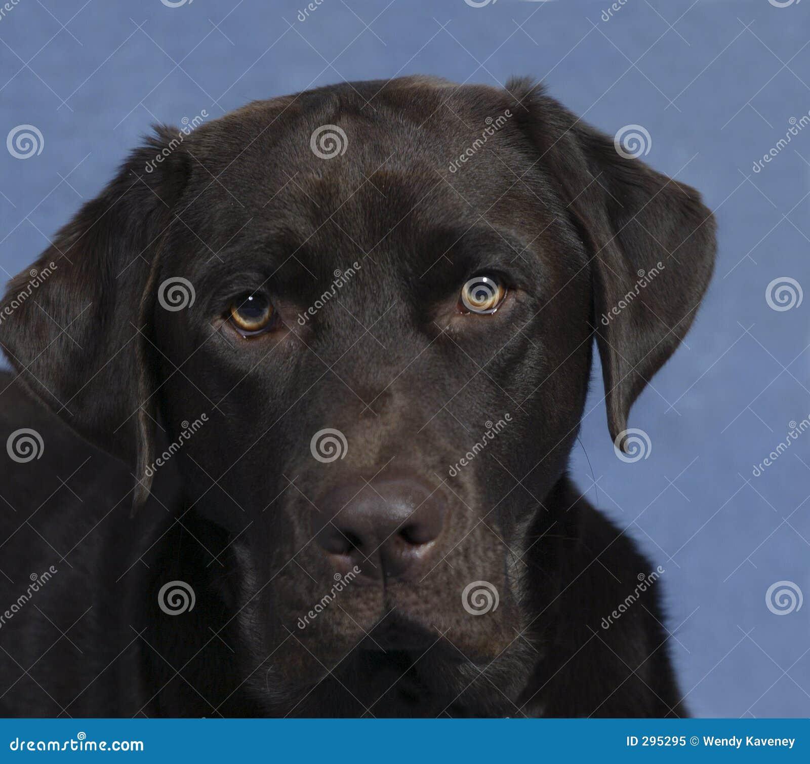 Het Gezicht van het puppy