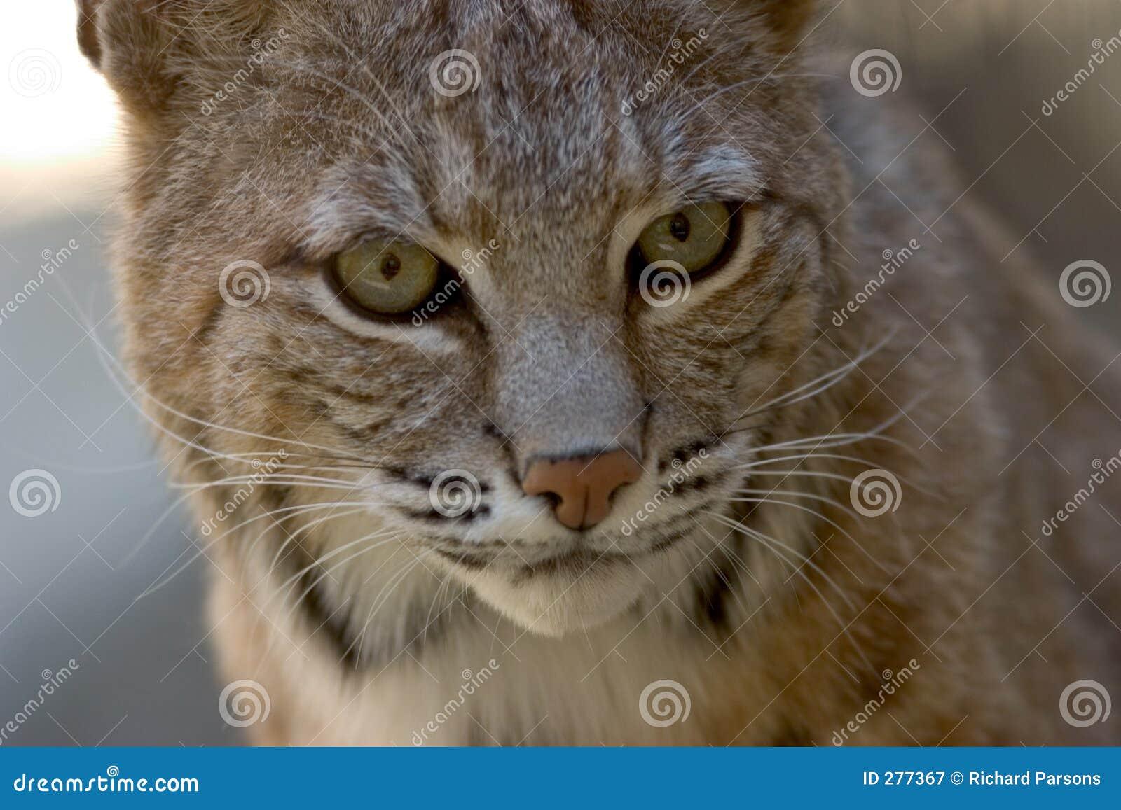 Het GezichtsPortret van Bobcat