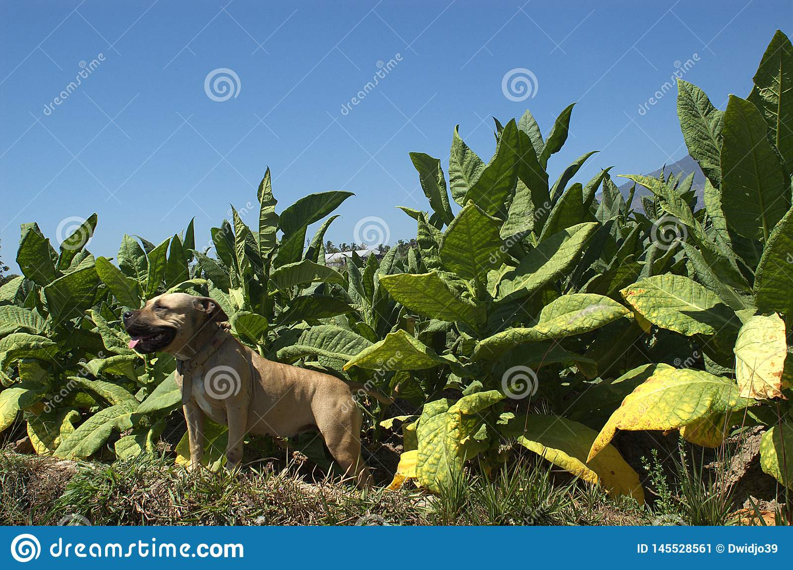Het Glimlachen pitbull bij tabaksgebied