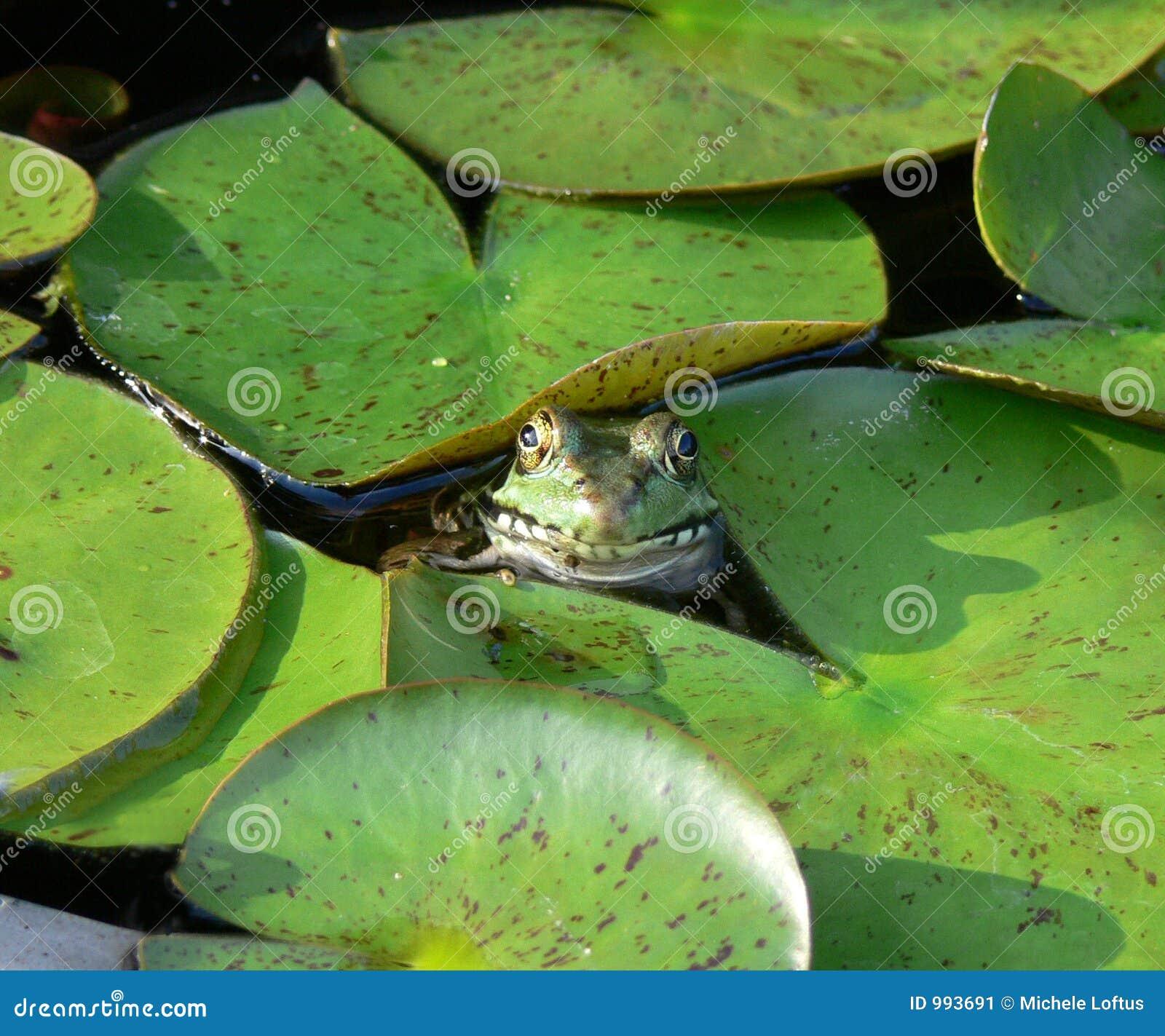 Het glimlachen van kikker in een het stootkussenvijver van de Lelie