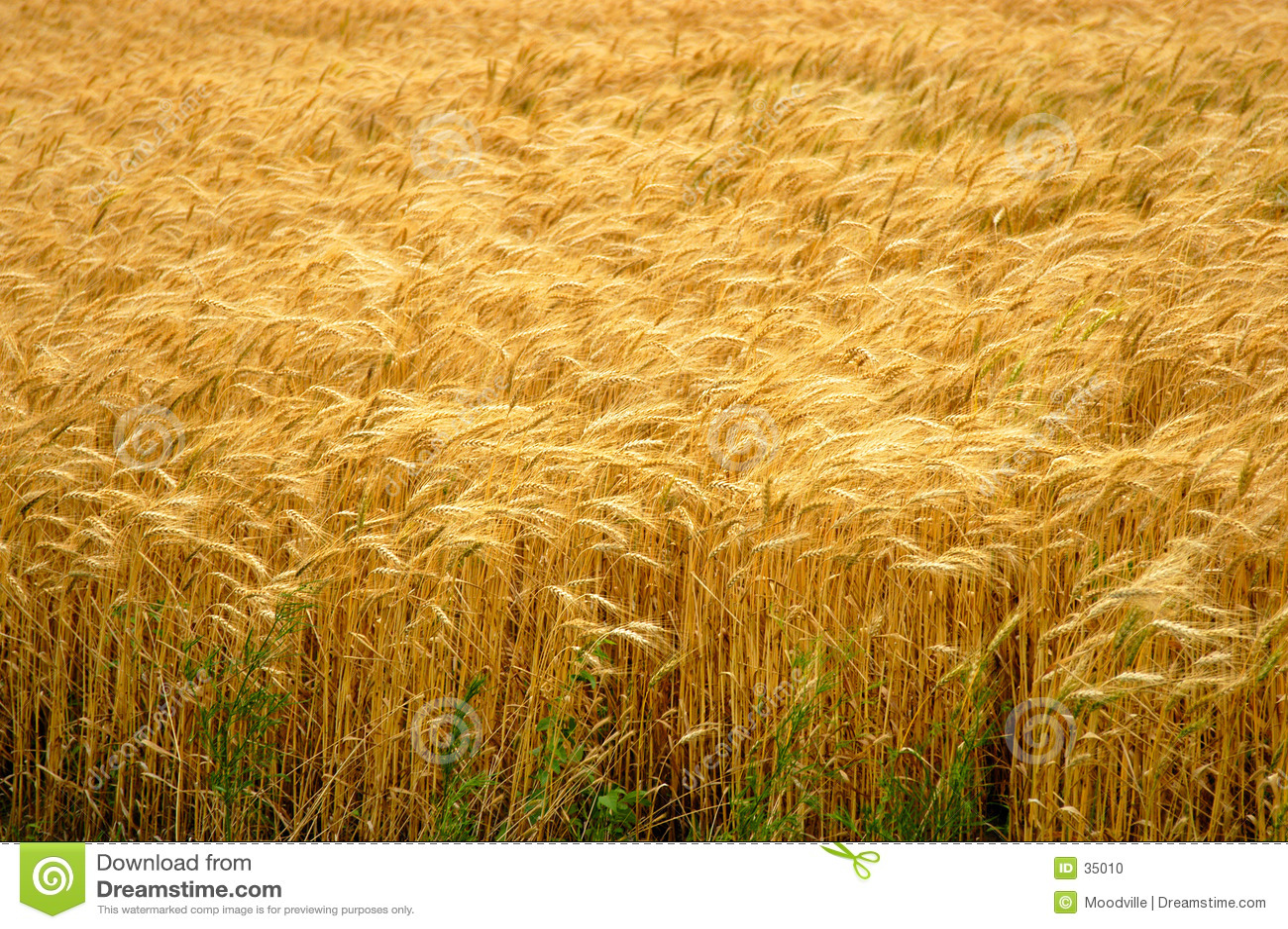 Het gouden Gebied van de Tarwe