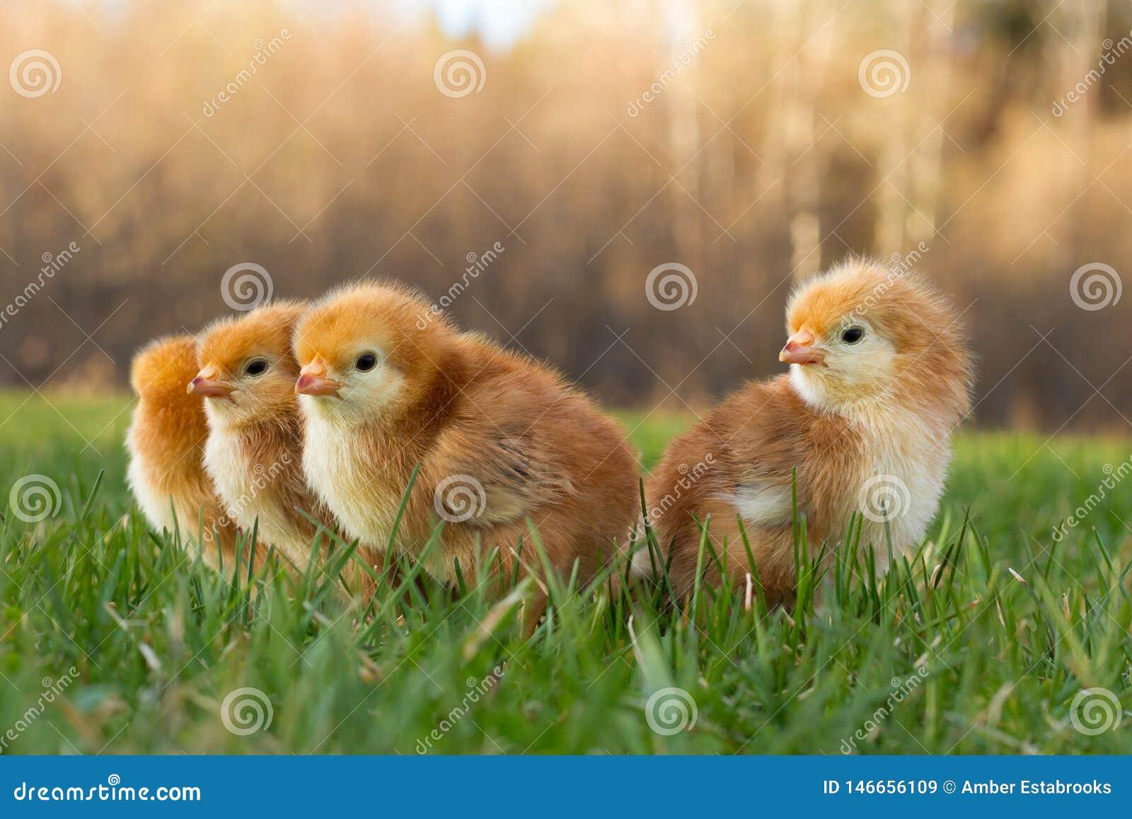 Het Gras van de lenterhode island red chicks exploring voor Eerste Keer