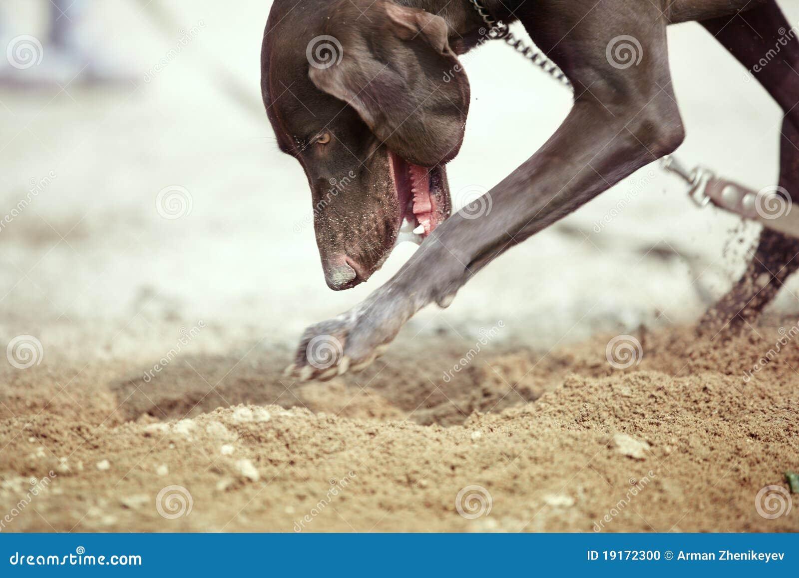 Het graven van de hond