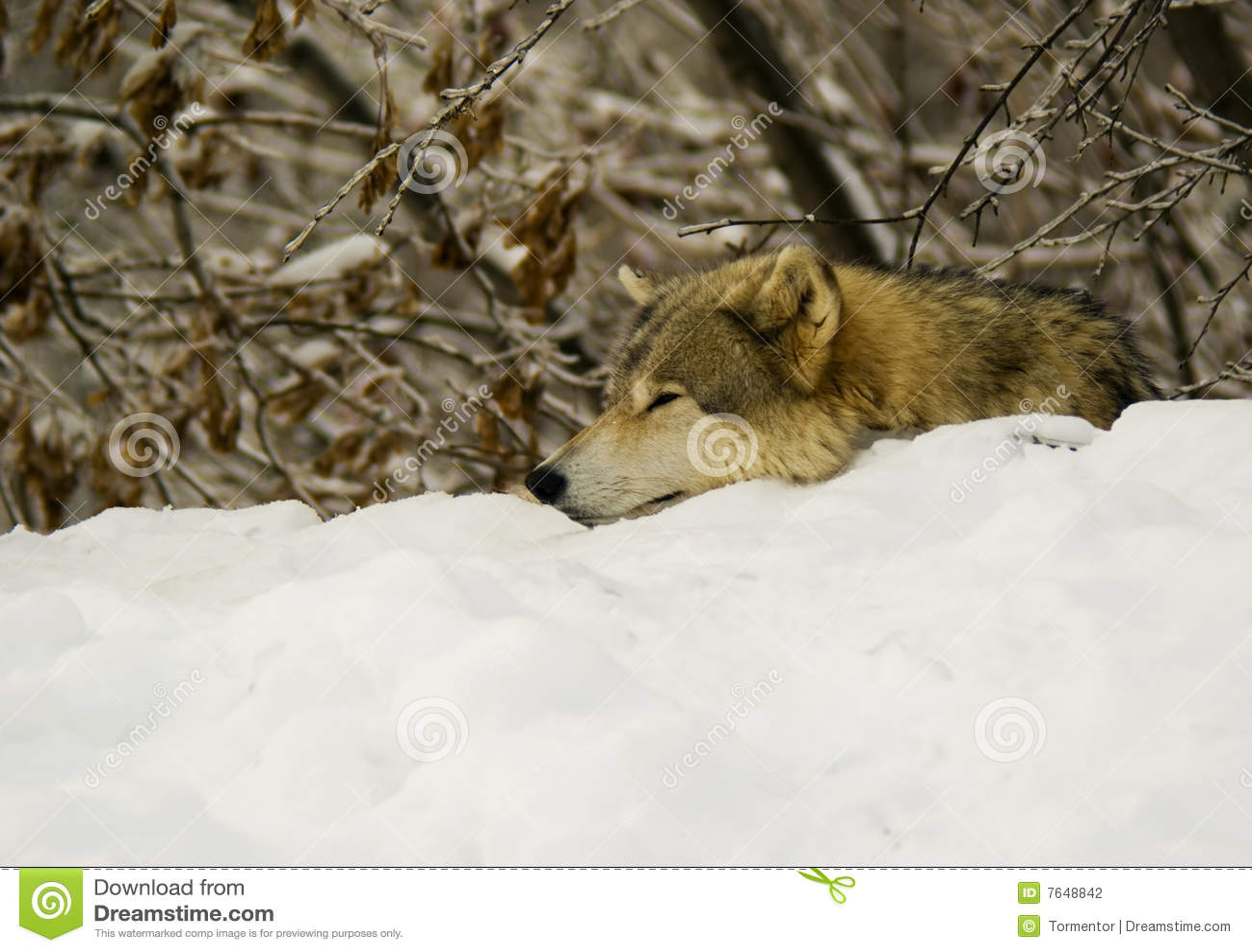 Het Grijze rusten van de Wolf (wolfszweer Canis)
