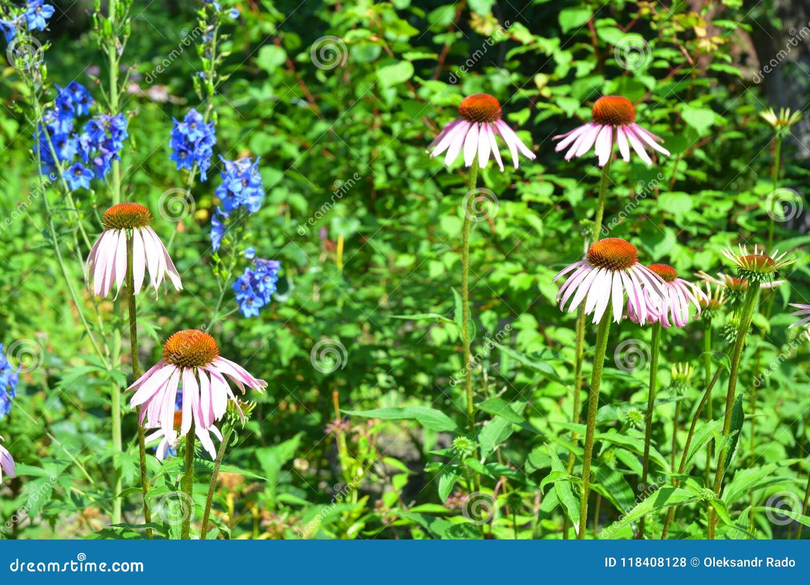 Het groeien coneflower of purpere echinacea op bed van de tuin het bij-vriendschappelijke bloem