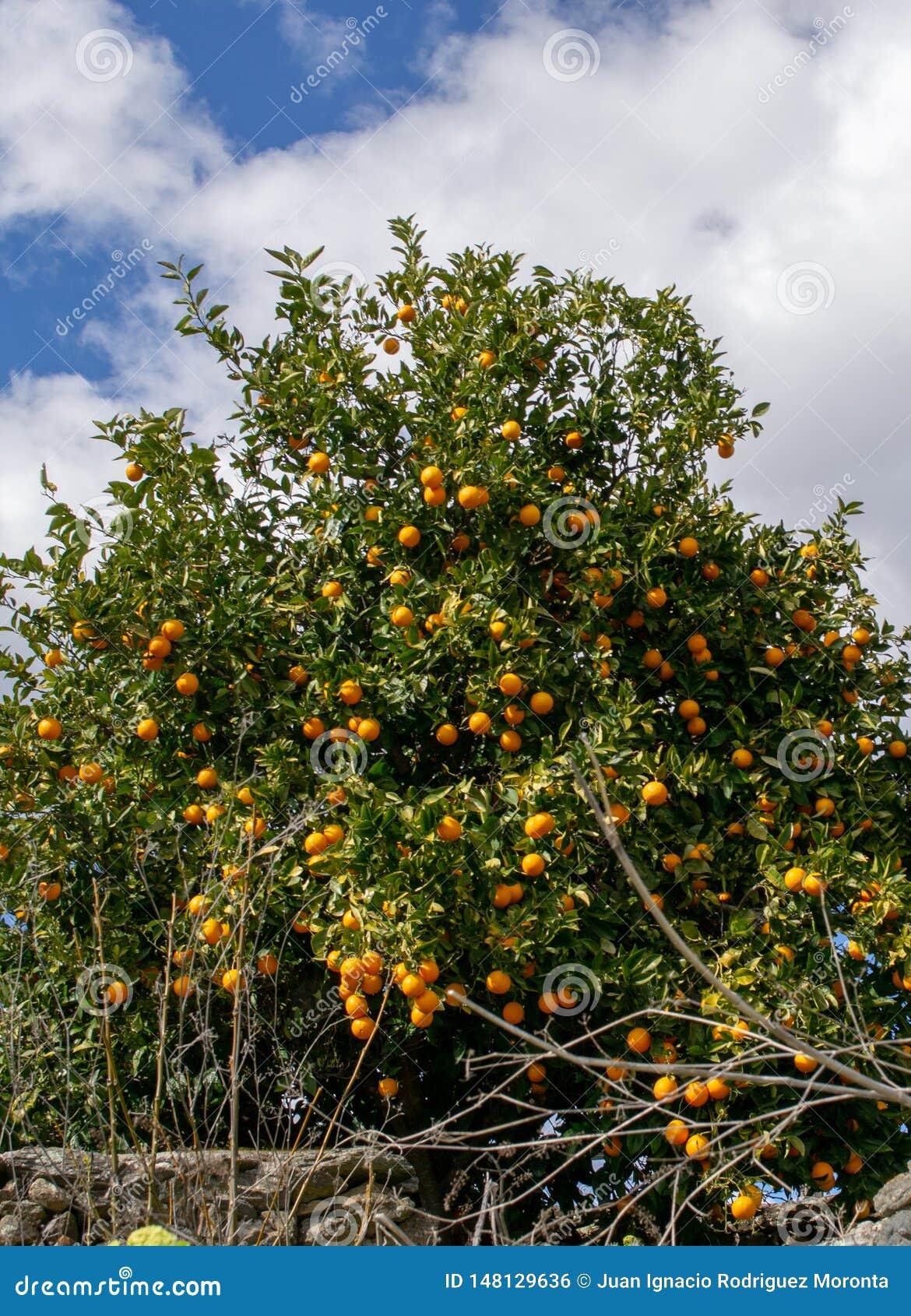 Het groeien van de clementine op de boom