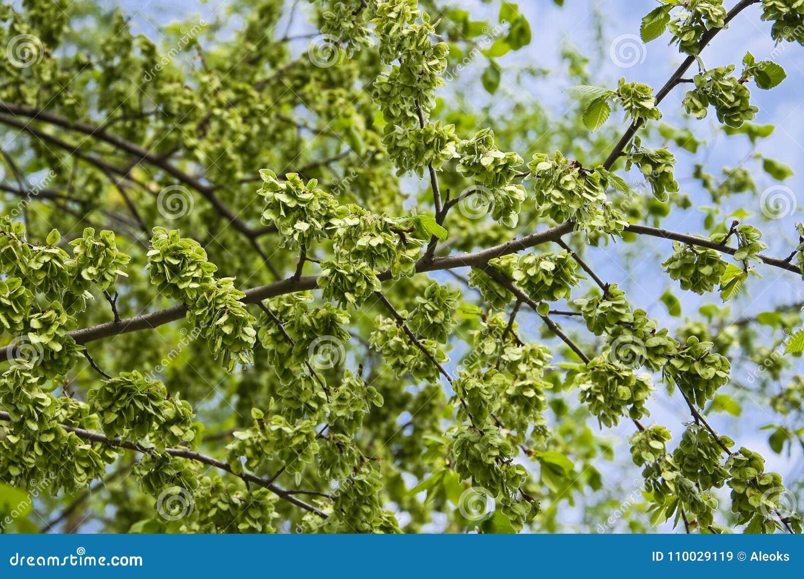 Het groene fruit, rond wind-verspreide samara van de iep Ulmus