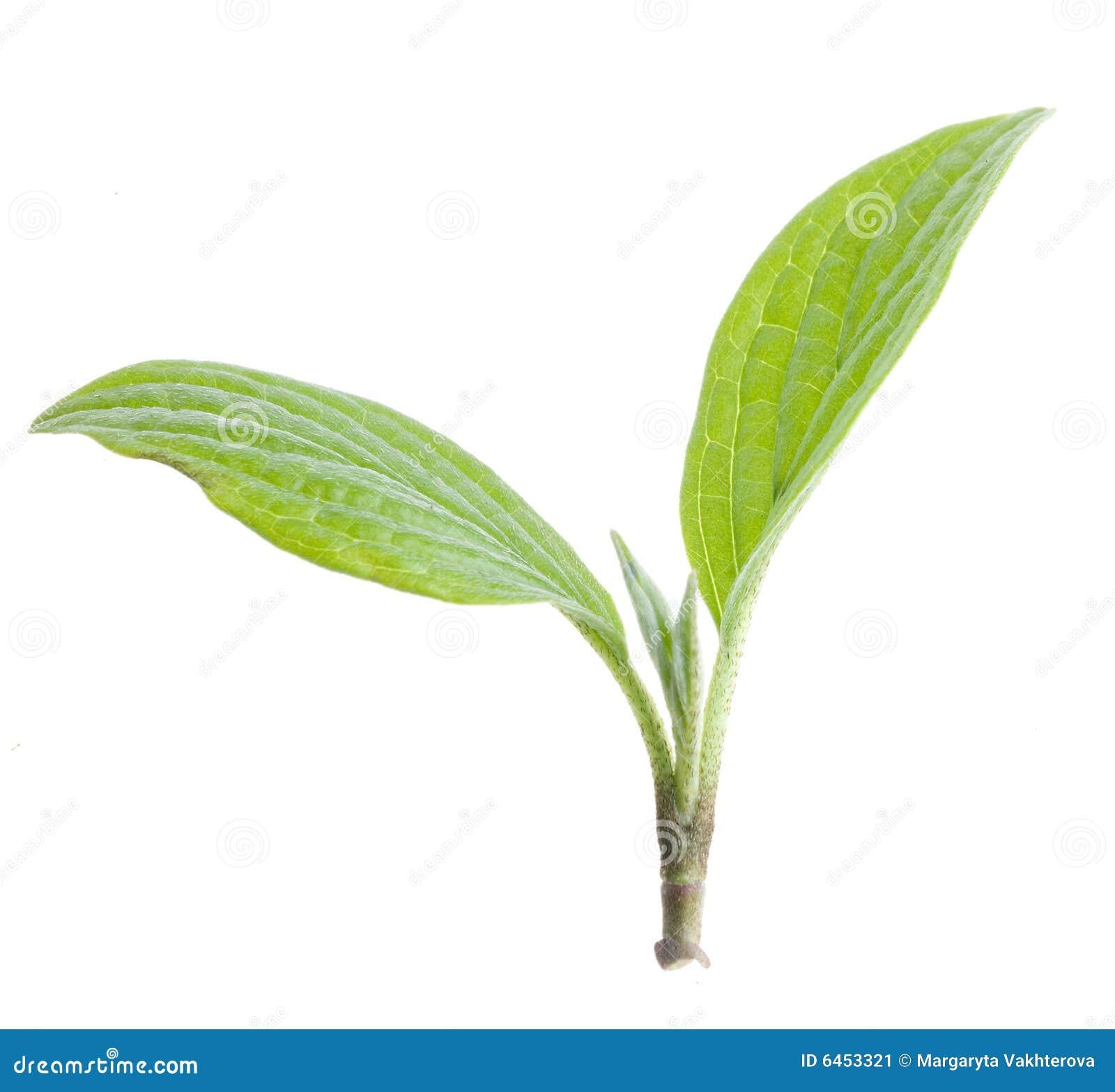 Het groene geïsoleerdeg blad van de aard