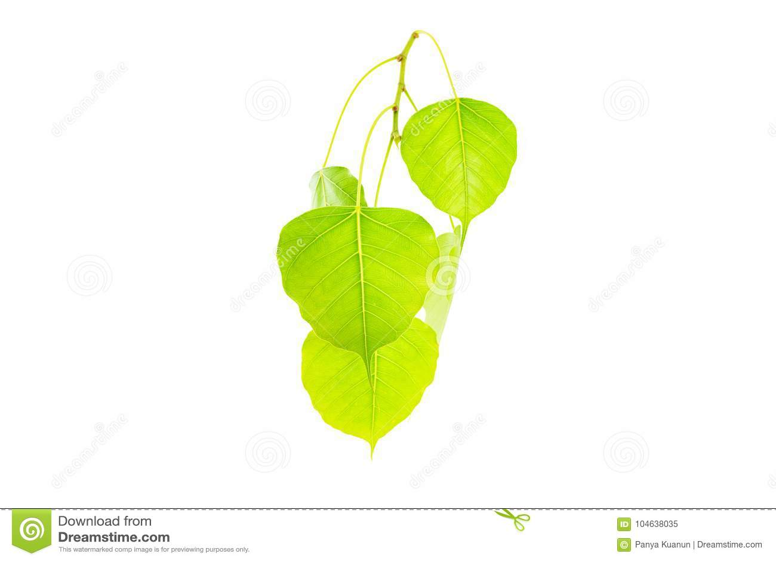 Download Het Groene LeavesPhoblad, Het Blad Van BO, Bothi Leafisolated Op Witte Rug Stock Afbeelding - Afbeelding bestaande uit helder, geïsoleerd: 104638035