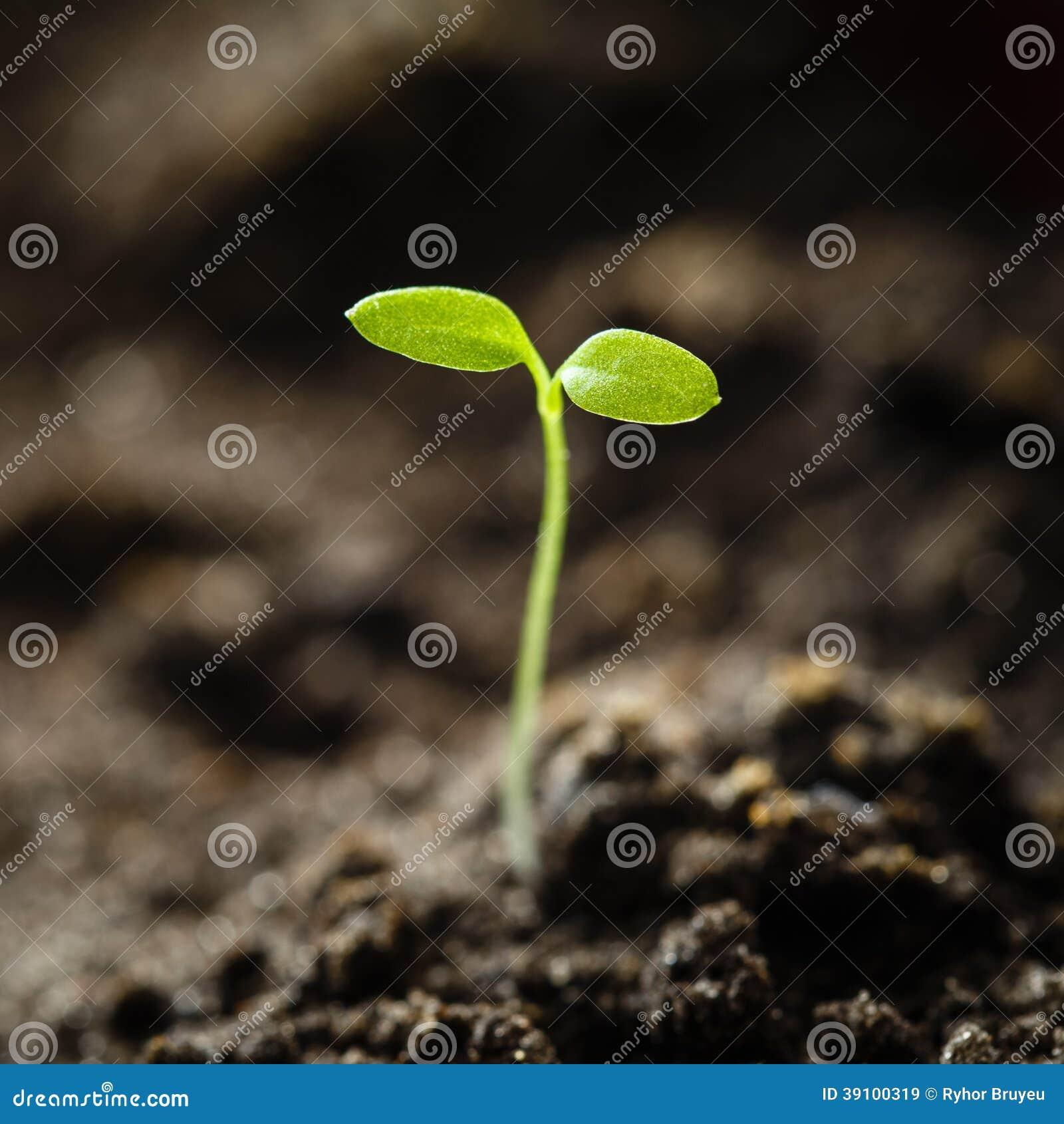 Het groene spruit groeien van zaad isoleert