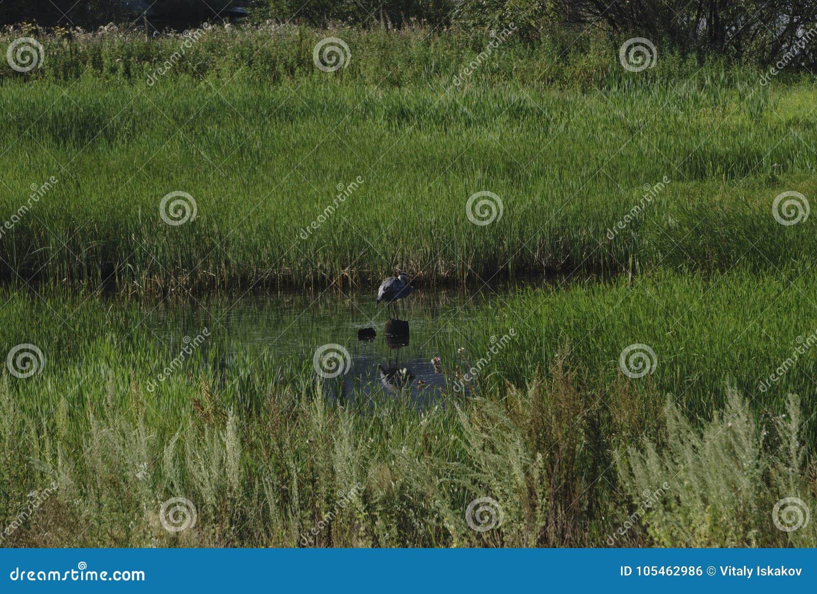 Het grote blauwe reiger stellen in het moerasland van Florida bij dageraad