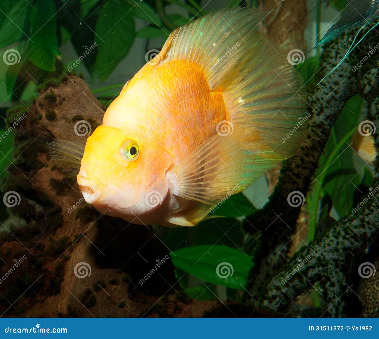 Het Grote Gele Portret Van Aquariumvissen Stock Fotografie   Afbeelding  31511372