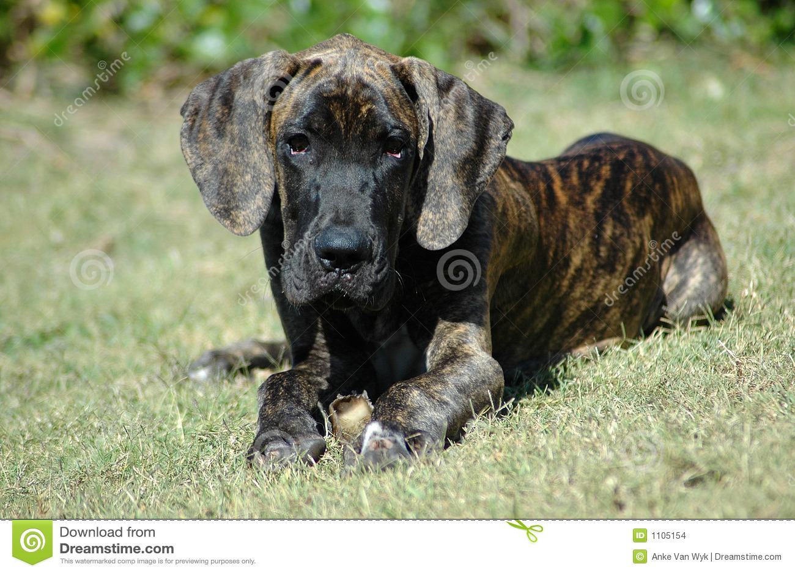 Het grote puppy van de Deen