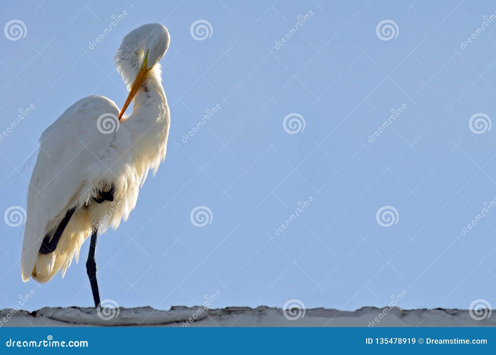 Het grote witte die aigrette verzorgen onder vleugel met klauw tot borst, zonovergoten van erachter met lichtblauwe hemelachtergr