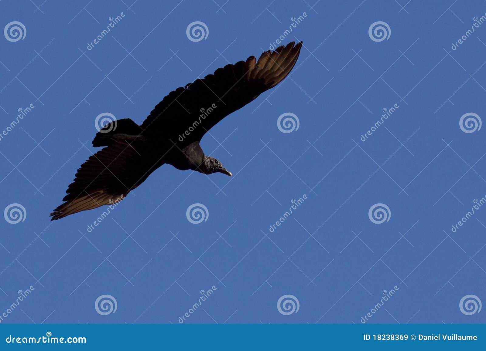 Het grote zwarte vogel vliegen