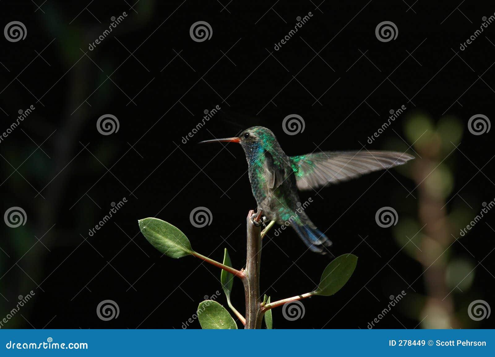 Het hangende landen van de Kolibrie