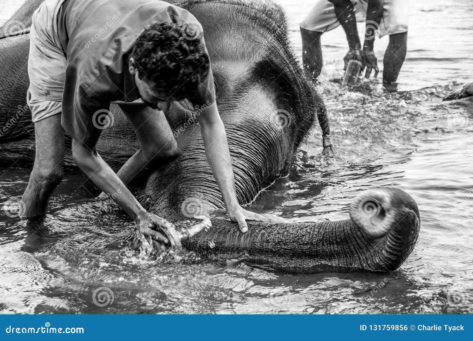 Het Heiligdom van de Kodanadolifant - olifant baden wordt uitgevoerd met diepe bewaarders schoonmakend de zwart-witte boomstam -