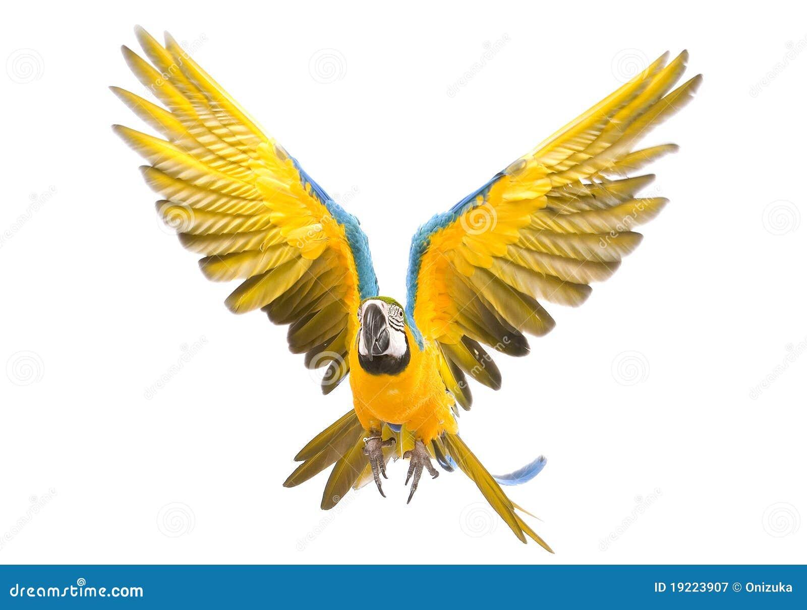 Het heldere aronskelkenpapegaai vliegen
