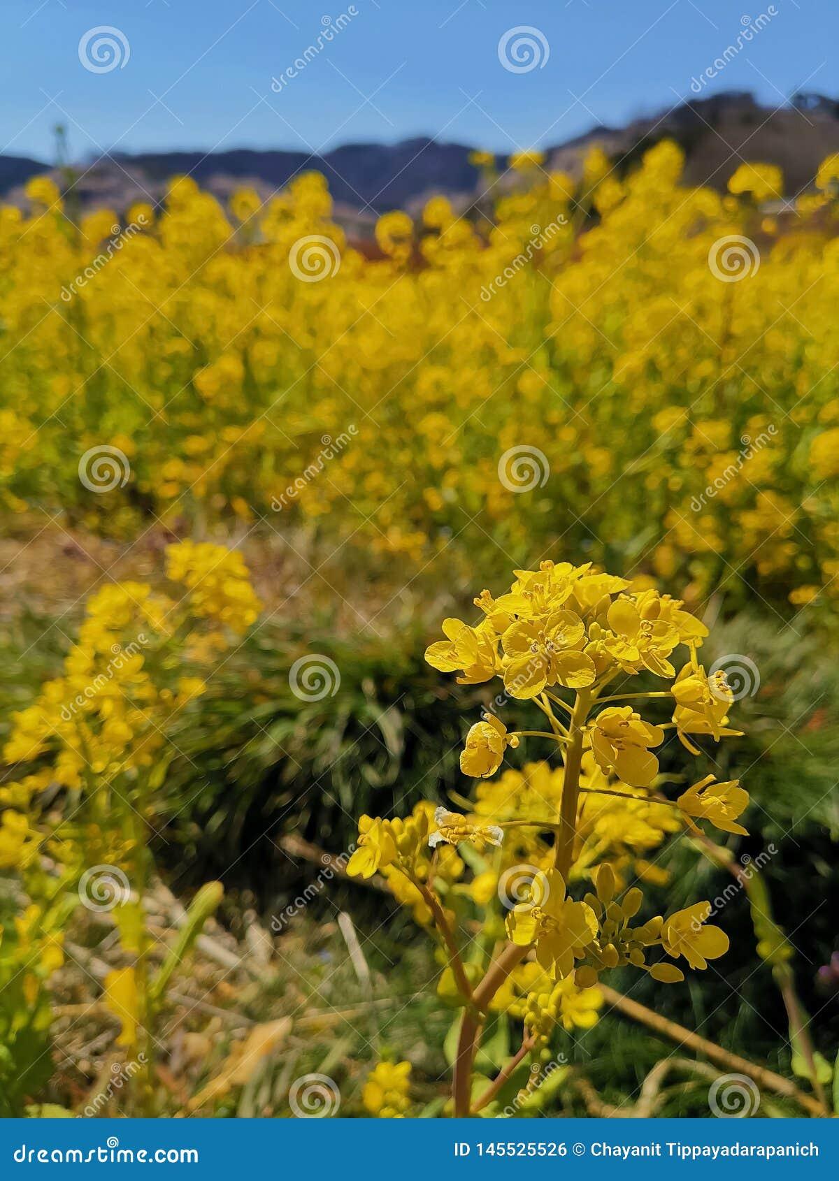 Het heldere gele gebied van de raapzaadbloem in de lente van Japan