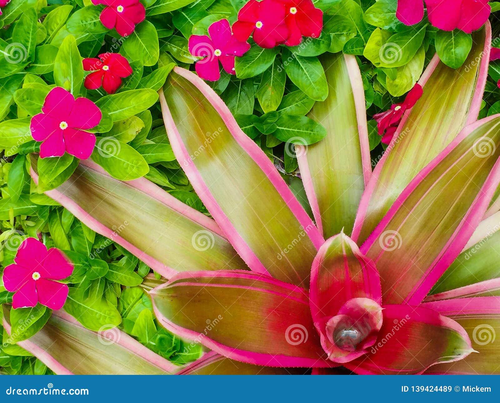 Het heldere rode groene roze van de bromeliaclose-up